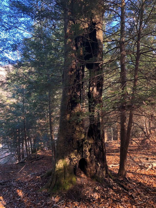 Beech Tree among the Hemlock-Upper-Twin-Feight-2018-01-26